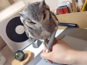 平衡感惊人的猫头鹰