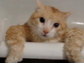 猫胖子的悲哀 最后只能放弃反抗了