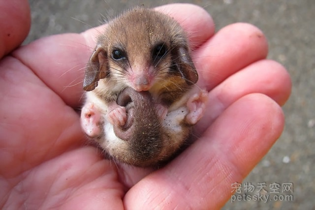 可能很多人没有见过这种萌物 它们叫负鼠(23张)
