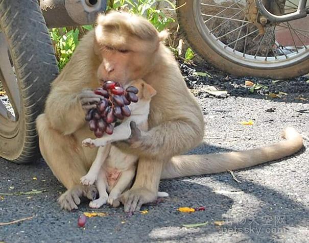 印度一只猕猴领养了一只小狗 吃饭都让狗狗先来