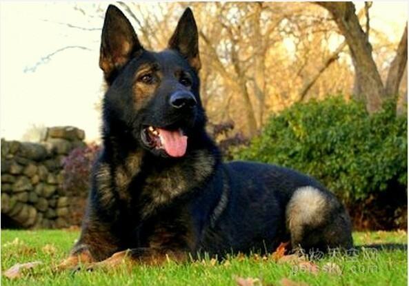 德国牧羊犬属于狼狗吗?是最聪明的狗狗吗?