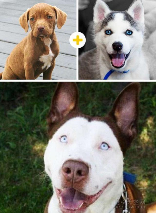 为什么有些养狗人士,喜欢把品种狗混成串串狗?