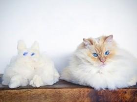 布偶猫Sky的幸福生活照片 胖出了自己的可爱与个性