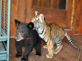 毒枭养猛兽当宠物看厮杀 结果它们成为了形影不离的好朋友