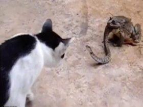 猫蛇大战蟾蜍坐收渔翁之利 缓缓将蛇吞进肚子