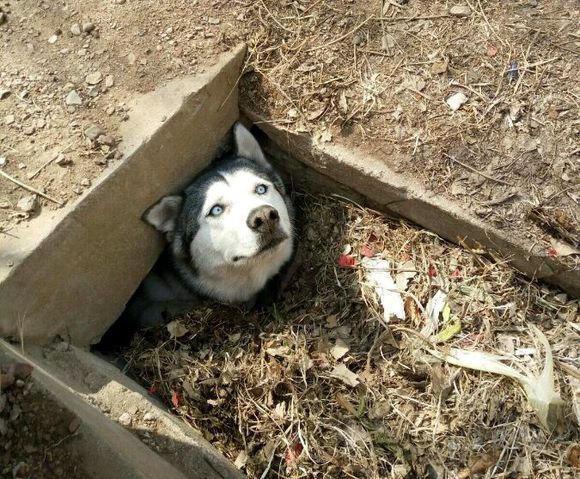 如果家中养了一只傻狗,会是什么样的体验?