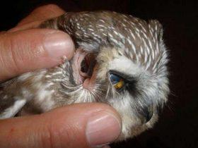 养猫头鹰的网友一定要注意 拨动耳朵可能会伤到眼睛