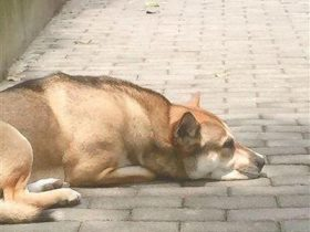 主人搬去国外定居后 忠犬数年如一日苦守在小区里