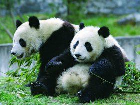在国外看歪果仁排队围观熊猫,是一种什么体验?