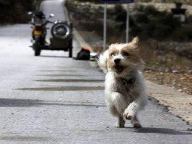 小狗在川藏线上偶遇骑行者 从四川雅江跑到了西藏拉萨