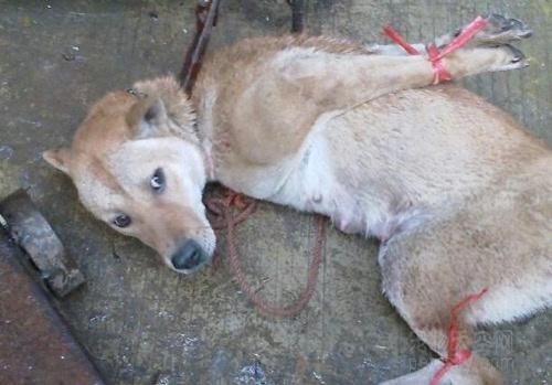 玉林狗肉节 等待被屠杀的狗狗