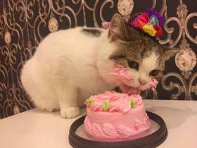小猫咪过生日吃到了蛋糕 心情真是美美哒