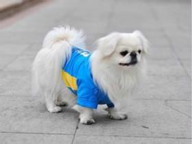 京巴犬的训练、适养人群和适应环境