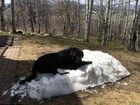 拉布拉多犬爬在雪堆上的照片 在网络上走红