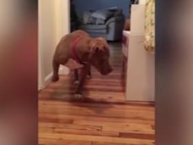 强壮的比特犬蹑手蹑脚地走路 只因害怕打扰家中的猫BOSS