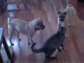 两只狗狗VS一只猫咪