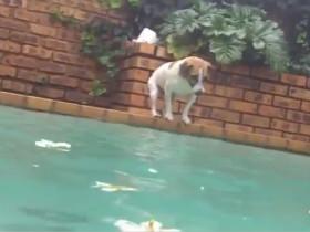 """看到水池底下的大鱼 狗狗勇敢地潜下水将其""""救""""上岸"""