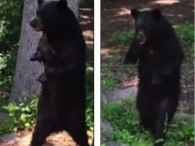 站起来行走的黑熊引发网友关注 背后有一个悲伤的故事