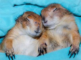 养两只土拨鼠当宠物会怎样 网友分享自己的养宠经历