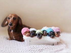 腊肠犬妈妈与自己的六个小宝宝 让你的心都快萌化了