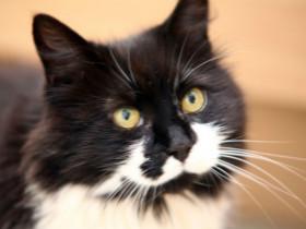 猫咪Simon只有两条腿,但是依旧坚强乐观的活着