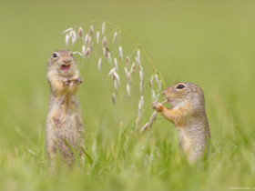 """""""欧洲地松鼠""""的野外照片"""