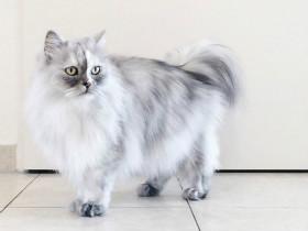 这只非常优雅的波斯猫叫Alice 被领养后就过上了网红生活