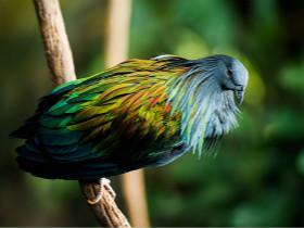 这些非常漂亮的鸟儿叫尼柯巴鸠 与已经灭绝的渡渡鸟有血缘关系