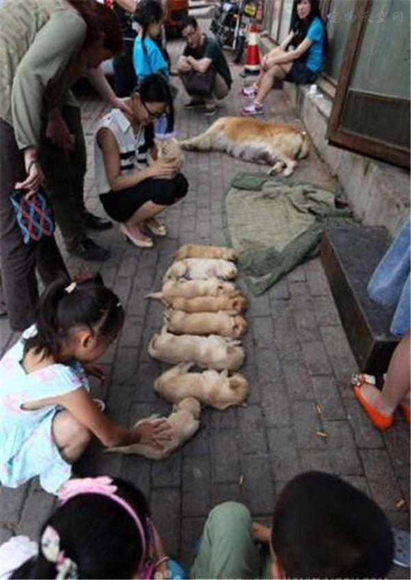 临产金毛去医院途中没忍住,一下子生了很多狗宝宝