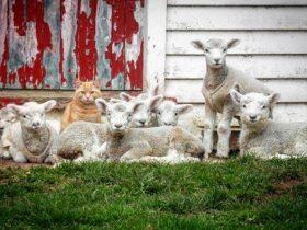 猫咪认为自己是羊而且是羊群的老大,有时还装模作样嚼草