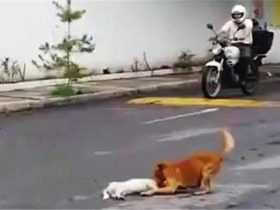 流浪狗被撞飞瘫倒在地,它的同伴在一旁默默守护了一整天