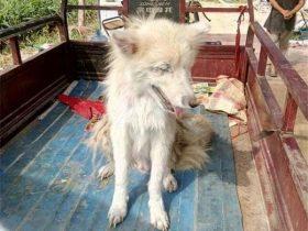 捡了一只狗,村民说是只狼要打死,吓得我赶紧把它领回了家