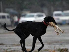 30条狗一天咬死100多只兔子 主人反而奖励它们吃肉