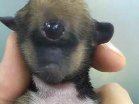 德阳流浪狗妈妈生下罕见独眼小狗 没有嘴巴和鼻子