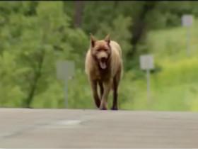 老年狗狗Bruno每天步行4英里 到一个小镇与居民打一声招呼