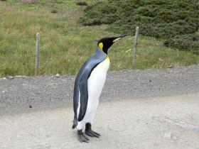 夫妻在公路上遇到一只迷路的帝企鹅 拒绝搭车的表情亮了