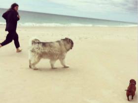 养一只阿拉斯加犬和一只腊肠犬 每天在家里中都是你追我赶