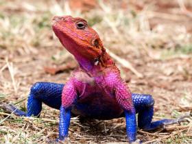 小姐姐家的蜥蜴太粘人啦,每天都求抱抱求温暖
