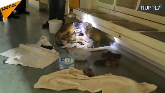 流浪狗妈妈在地铁车厢里生下9只小狗 乘客特意为它腾出整辆列车
