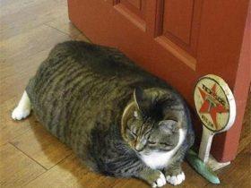 各种肥胖宠物大PK,来比一比谁更胖?!