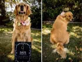 铲屎官想为怀孕的狗狗做点事情 于是拍了这些美美的孕照
