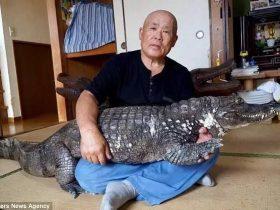 日本男子饲养鳄鱼当宠物 愉快地相处了34年之久