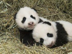 全世界唯一一只棕色大熊猫 网友:生到一半没墨了