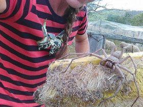 澳洲一家农场内惊现巨型蜘蛛 照片立刻引起轩然大波