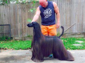 """名为""""茶""""的阿富汗猎犬  被网友称为""""世界上最漂亮的狗"""""""