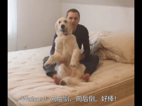 金毛狗狗非常信任自己的主人 学会了一种高难度动作