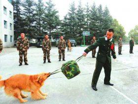 老兵,别走!警犬班战士退役 狗狗死死咬住背包