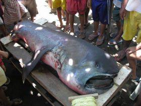 男子打捞一条很奇怪的鱼 据说至今为止只出现过60次的巨口鲨