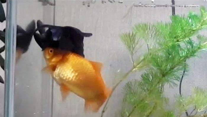 很多人做过这样的事情:冬天怕它们冷,往鱼缸里加热水!