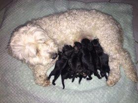 两只白毛的狗狗生了一窝小黑狗 网友调侃需要做亲子鉴定